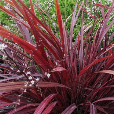 cordyline design aline
