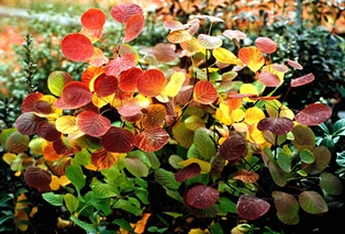 cotinus golden spirit 2 web