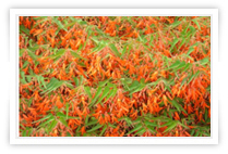 orange bonfire flowers