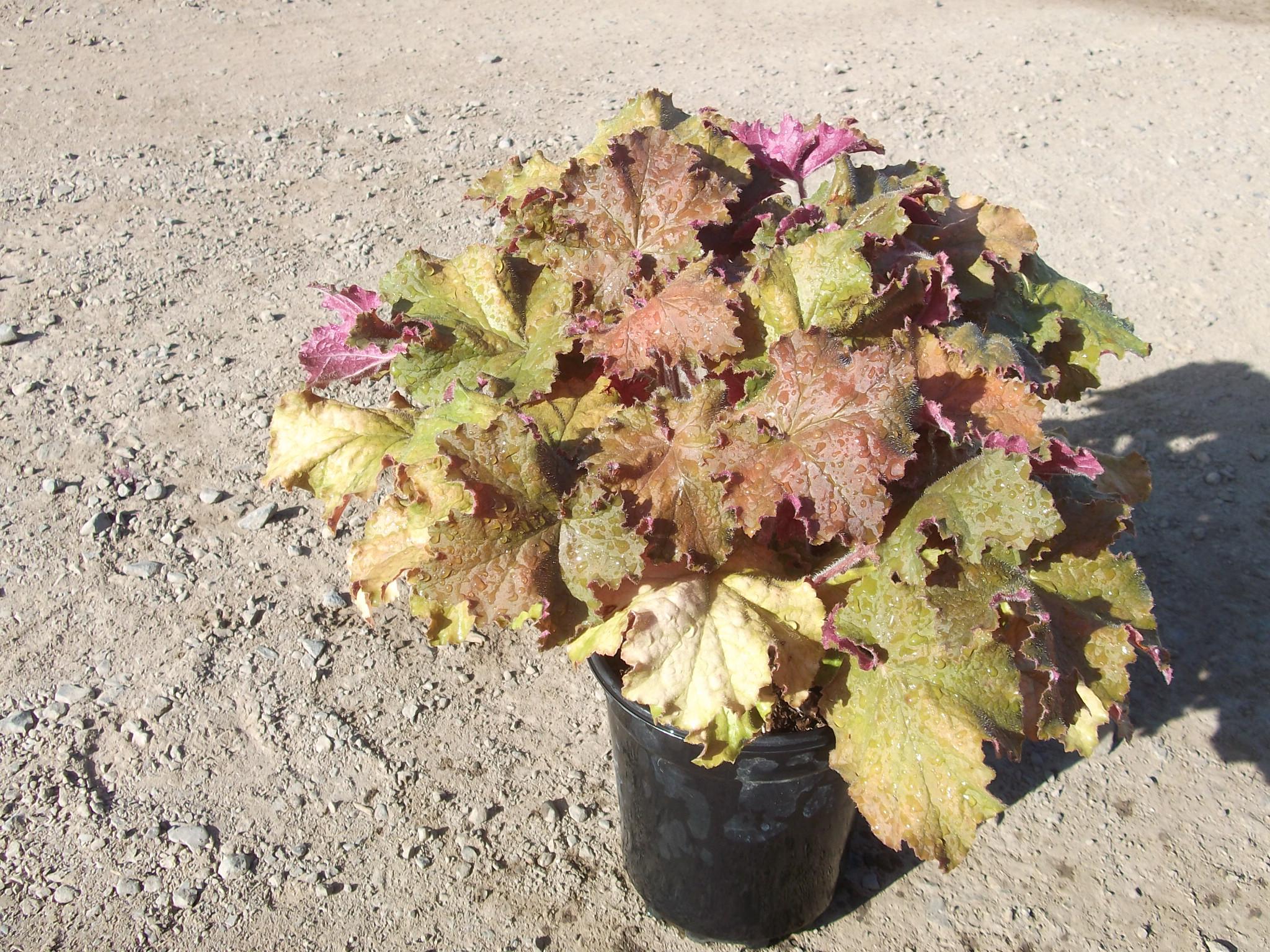 Plant Photos Wholesale Nursery Amp Grower