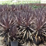 235 Cordyline Red Sensation