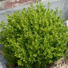 Buxus-Golden-Dream5-3