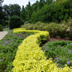 Ligustrum Sunshine - Dallas