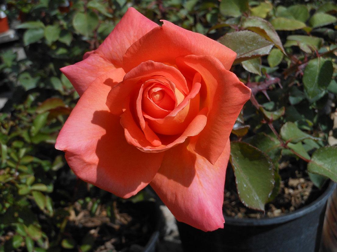 Rose Ambassador Landscape Center