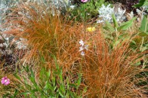 Carex 'Prarie Fire'