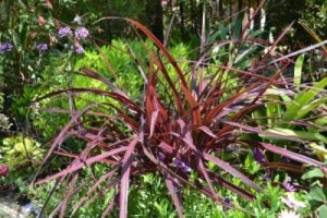 Sharply-red Cordyline 'Festival Grass' ™