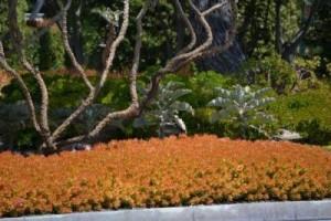 Sedum nussenbaumerianum 'Coppertone'