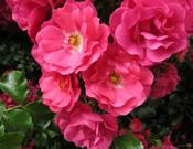 Rosa x Flower Carpet Pink Supreme