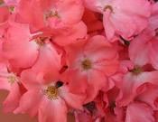 Rosa x 'Noala' Flower Carpet Coral