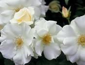 Rosa x 'Noaschnee' Flower Carpet White