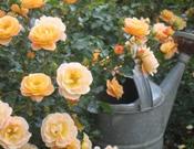 Rosa x Flower Carpet® Amber