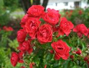 Rosa x 'NOA83100B' Flower Carpet Scarlet