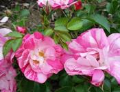 Rosa x Flower Carpet® Pink Splash