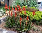 Aloe Always Red™