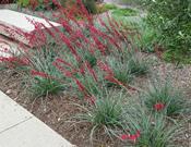 Hesperaloe parviflora Brakelights®