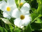 Mandevillea Giant White
