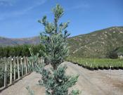 'Icee Blue'® Podocarpus