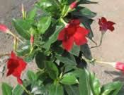 Mandevillea Crimson