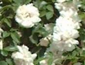 Lady Banks Rose (White)