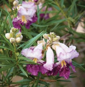 Chilopsis linearis 'Monhews'