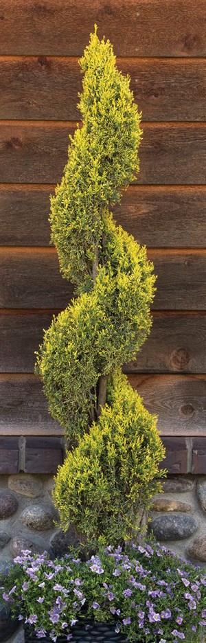 Cupressus sempervirens 'Swane's Golden'